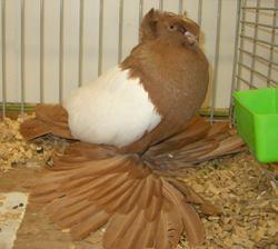 Bilder sind aus dem Internet , Die gleichen Tauben stehen zur verfügung zum verkauf , bei fragen einfach anschreiben Pic...